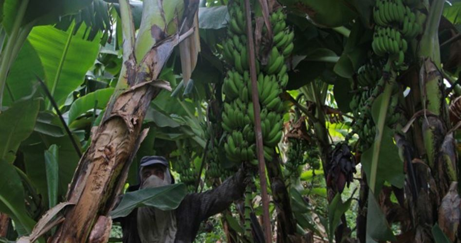 Jericho bananas could face extinction