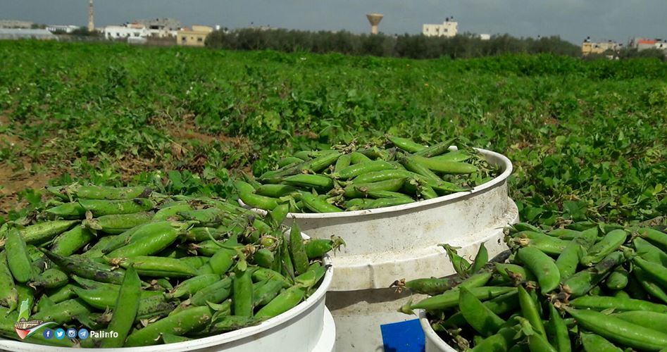 Traditional harvesting of pea pods in Gaza fields